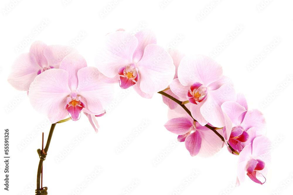 Fototapety, obrazy: Stem of orchids.