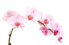 Stem Of Orchids.