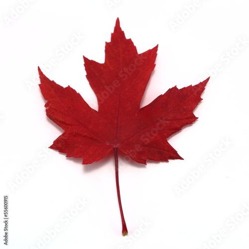 Foto op Canvas Canada Vivid red maple leaf close up