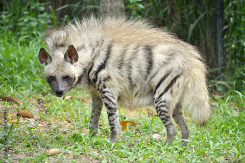 In de dag Hyena Striped hyena