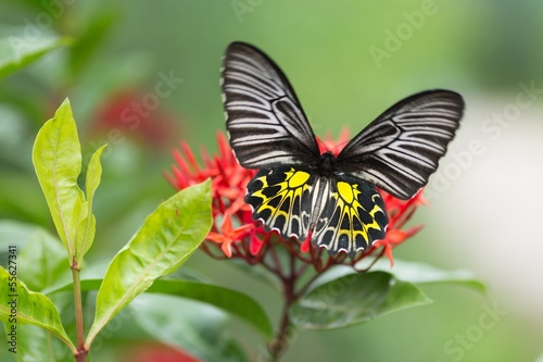 Golden birdwing butterfly Wallpaper Mural