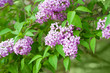 Branch of lilac flowers