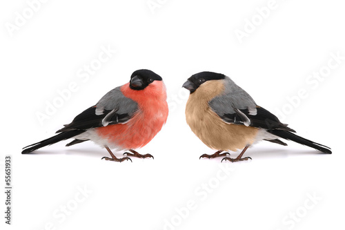 Canvastavla bullfinch