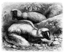 Skunk - Mouffette - Skunks