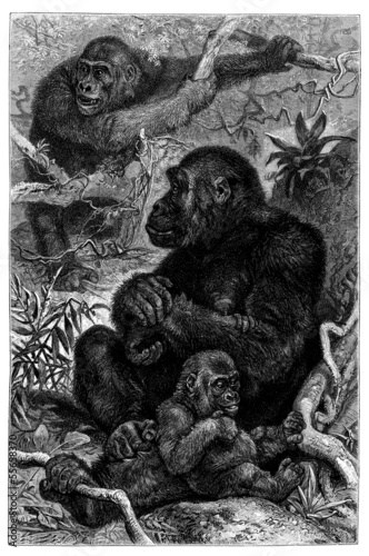 Photo Monkeys : Gorilla