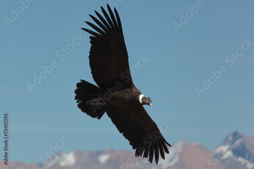 Photo Andean Condor (Vultur gryphus)