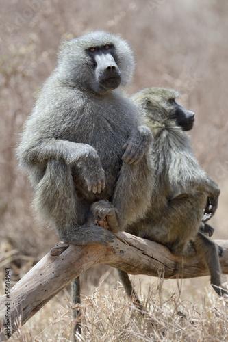 Fotografie, Obraz  Male Baboon sitting on a tree.