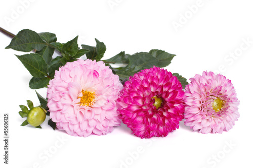 Poster de jardin Dahlia light pink and dark pink dahlia isolated on white background