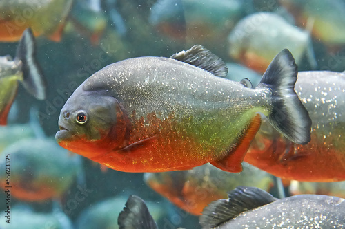 Photo  Red piranha (Pygocentrus nattereri)
