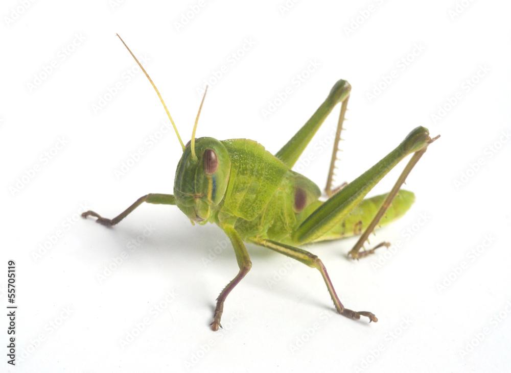 Fotografie, Obraz Green Grasshopper