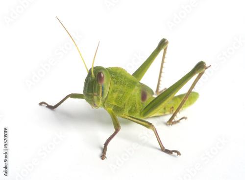 Fotografia, Obraz Green Grasshopper
