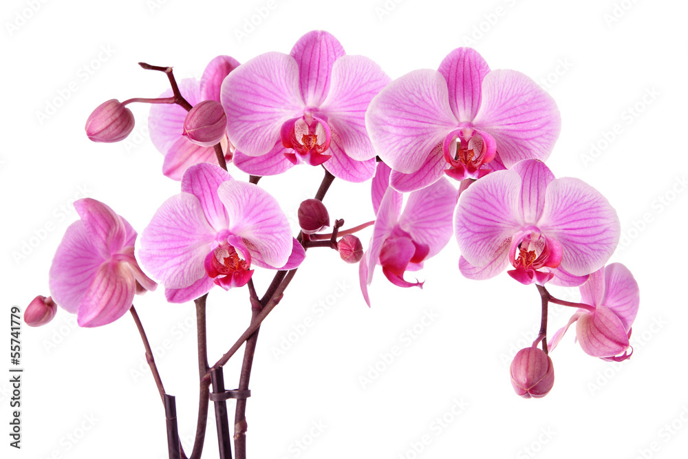 Fototapety, obrazy: Purple orchids isolated on a white background