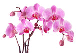 Fototapeta Orchid - Purple orchids isolated on a white background