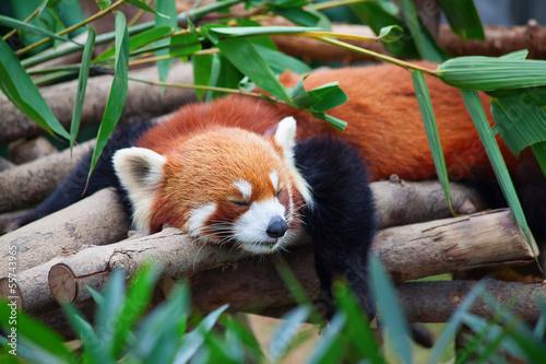 Red panda (firefox) Wallpaper Mural