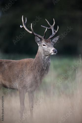 Keuken foto achterwand Hert Red deer, Cervus elaphus