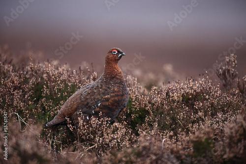 Red grouse, Lagopus lagopus scoticus Fototapet