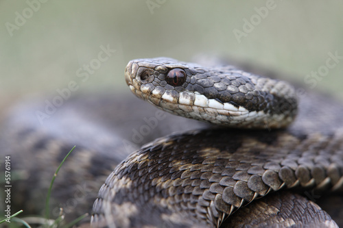 Photo Adder, Vipera berus