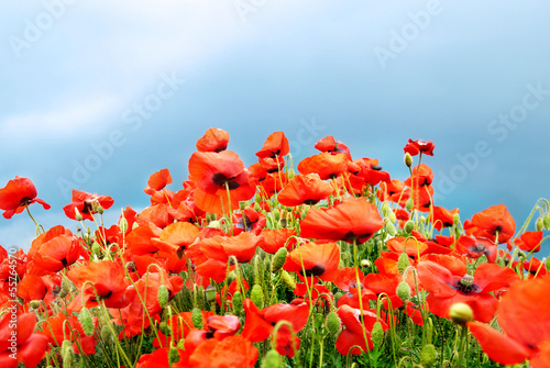 Poppies on the field