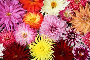 bouquet dahlia.