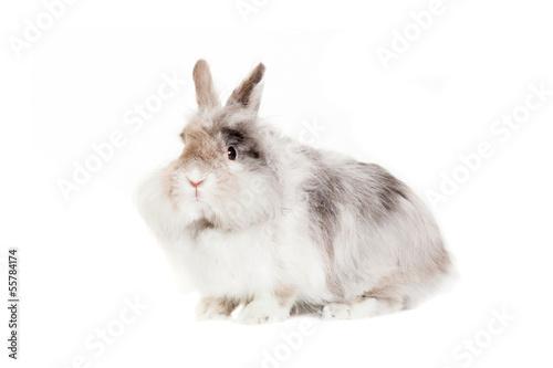 Photo Rabbit Angora breed, isolated on white background.