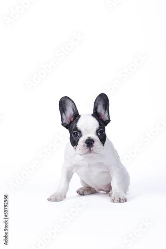 Deurstickers Franse bulldog French Bulldog puppy