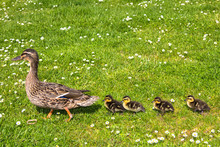 Duck With Ducklings.walk In City