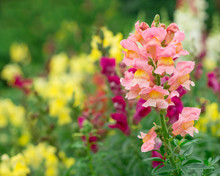 Antirrhinum Or Snapdragon