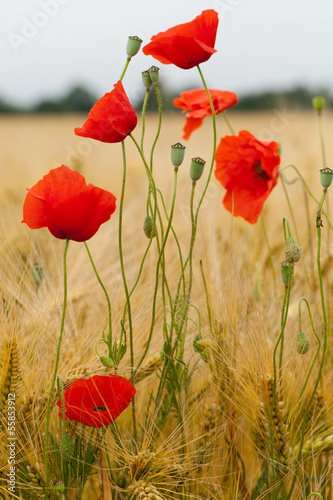 Obraz red poppies on the corn-field - fototapety do salonu