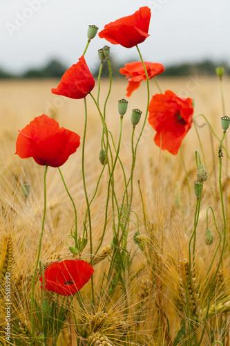 czerwone-maki-na-polu-kukurydzy