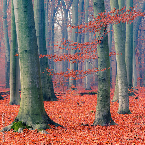 Poster Corail Foggy autumn forest