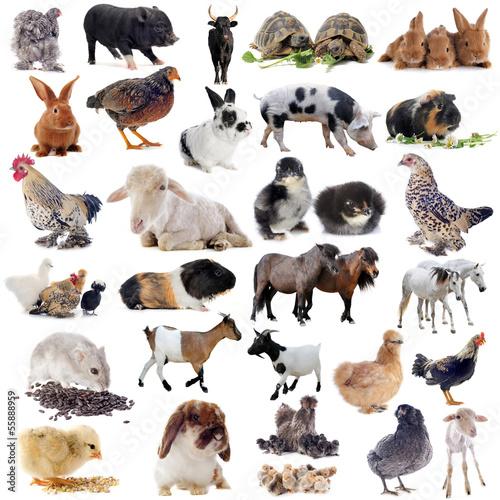 Foto-Schiebevorhang (ohne Schiene) - farm animals (von cynoclub)