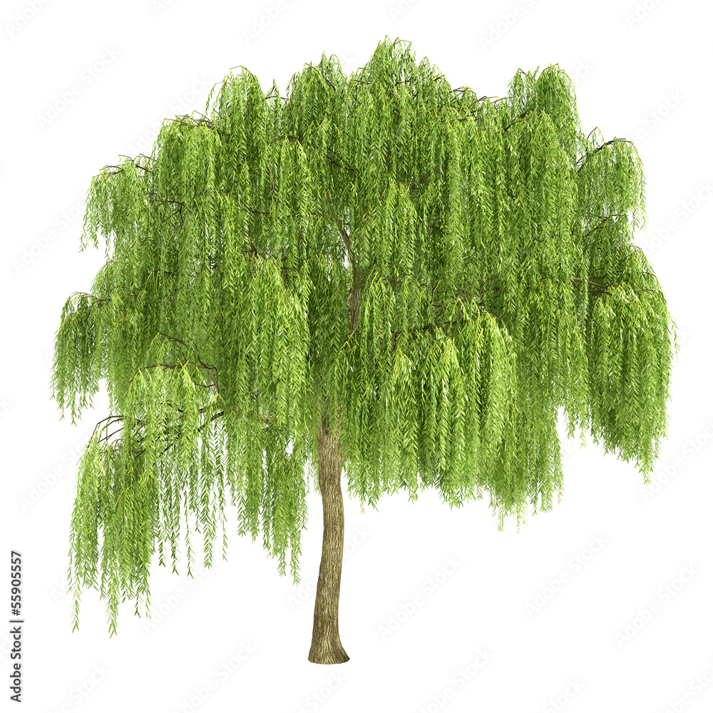 Fototapeta Weeping Willow Tree Isolated