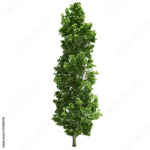 Obraz na plátně Poplar Tree Isolated