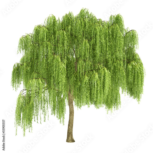 Fotomural Weeping Willow Tree Isolated