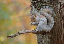 Grey Squirrel In Autum Background