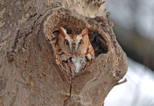 Screech Owl, Red Phase