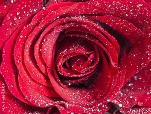 zamyka-up-na-czerwieni-rozy-z-wodnymi-kroplami