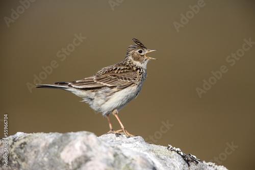 Skylark, Alauda arvensis, singing, Scotland, spring Fototapet