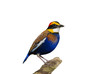 Banded Pitta on log and isolated white background