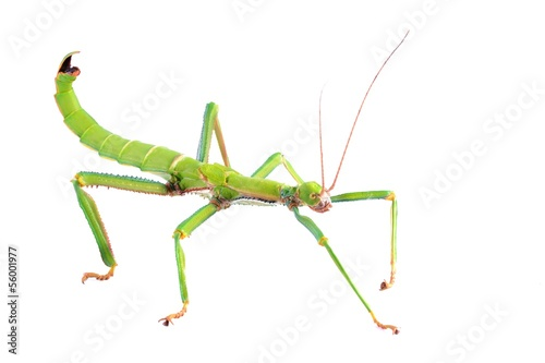 Photo  green stick insect Diapherodes gigantea isolated