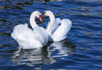 Fototapeta Romantyczny Lovely white swan couple mating in spring.
