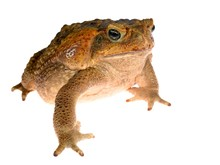 The Cane Toad (giant Marine To...