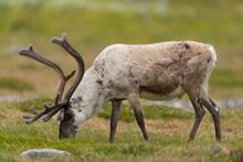 Ren, Reindeer, Rangifer Tarandus