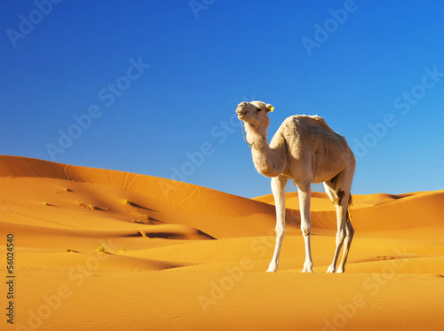 Foto op Canvas Kameel Camel in the Sahara desert, Morocco