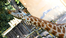Giraffe Long Necked While Eating The Leaves 3