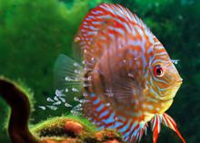 Discus Fish With Baby Fish Swi...