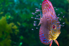 Discus Fish With Baby Fish Swimming In Aquarium