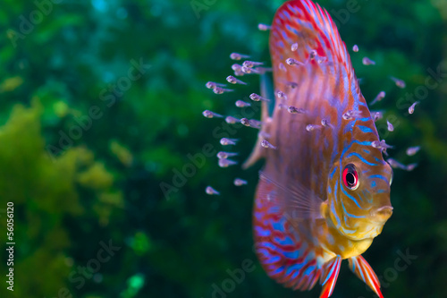 Discus fish with baby fish swimming in aquarium Fotobehang