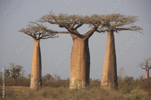 Papiers peints Baobab trio de baobabs