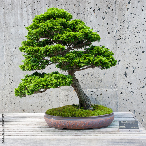 Tuinposter Bonsai A bonsai miniature of a Hinoki Falsecypress tree on display